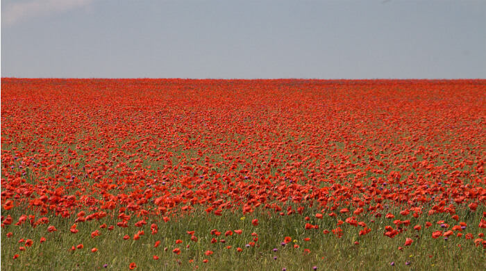 Фото макового поля на Тарханкуте (Крым)